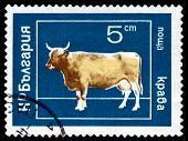 Vintage  Postage Stamp. Cow.