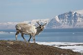 Arktische Rentier
