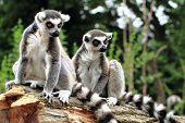 Lemur Monkeys Are Resting