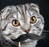 pic of scottish-fold  - portrait of a young Scottish Fold cat with paper mustaches - JPG