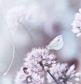 A butterfly on a flowering onion