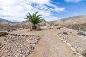 Fuerteventura - Single palm tree in the Cardon massif