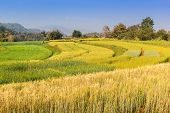 stock photo of ifugao  - Landscape shot colorful Barley paddy field with mountain background - JPG