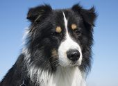 picture of shepherds  - australian shepherd in front of a blue sky - JPG