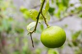 picture of lime  - Fresh green lime hanging on a lime tree - JPG