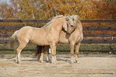 image of pony  - Two amazing palomino stallions playing together in autumn welsh mountain pony and welsh pony of cob type - JPG