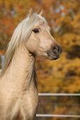 image of stallion  - Amazing welsh pony of cob type stallion in autumn - JPG