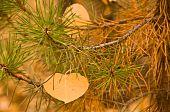 Aspen Leaf In Pine Bough