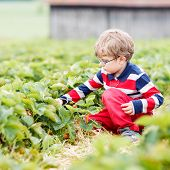 image of strawberry blonde  - Little kid boy in glasses picking and eating strawberries on organic pick a berry farm in summer on warm day - JPG