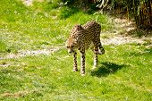 stock photo of cheetah  - A beautiful cheetah is hungry for meat  - JPG