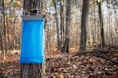 stock photo of tapping  - Tapping maple trees in the Spring to make maple syrup - JPG