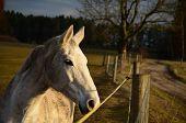 stock photo of bohemia  - white horse on a rural pasture South Bohemia Czech Republic - JPG