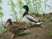 picture of duck pond  - Wild ducks at the pond - JPG