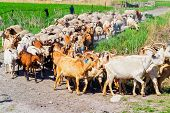 stock photo of mustering  - Flock of sheep on the move goes to pasture - JPG
