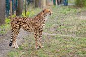 stock photo of cheetah  - Cheetah Gepard Acinonyx jubatus standing on green grass - JPG