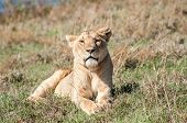 picture of saharan  - A female lion lies in the grass of a hill of the Ngorongoro crater in the early morning enjoying the sun - JPG