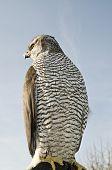 foto of falcon  - Peregrine falcon - JPG