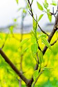 image of rape  - Is the pear trees and germination in field of rape in full bloom
