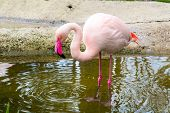 stock photo of pink flamingos  - Pink flamingo looking down into the water in the pond and circles on water - JPG