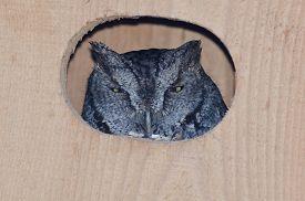 pic of screech-owl  - Western Screech - JPG