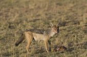 Black Backed Jackal Scavenges on a Topi (Lion Kill)