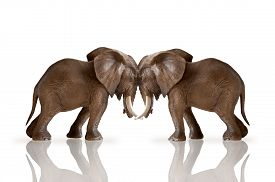 stock photo of headstrong  - test of strength concept elephants pushing against each other isolated on white background - JPG