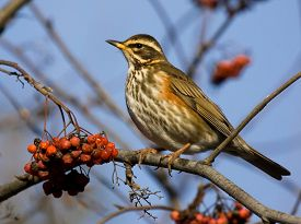 stock photo of mountain-ash  - Redwing on the branch of mountain ash - JPG
