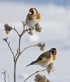 pic of goldfinches  - European Goldfinches on the burdock of winter - JPG