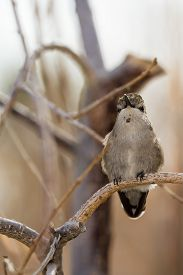 picture of hummingbirds  - Adult female hummingbird perched on a small branch - JPG