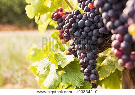 poster of Vine and bunch of black grapes in a field. Bunches of red grapes growing on a vine. Close up of vine