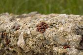Ladybirds close up