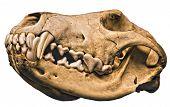 Wolf Cranium