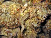 picture of flatworm  - camouflaged on the sea bottom - JPG