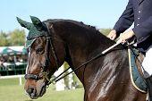 Um retrato de um cavalo árabe marrom