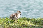 Egyptian Geese Gosling Walking On Green Grass With Water In Background, Alone. Egyptian Geese Were C poster