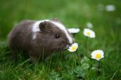 stock photo of guinea pig  - Young guinea pig smelling daisy - JPG