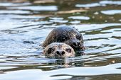 Two Common Seals In The Water Close-up. Heads Of Swimming Harbor Seal (phoca Vitulina). Cute Marine  poster