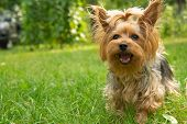 A Small Dog Breed Yorkshire Terrier Stands On The Lawn And Looks Straight Into The Frame. Positive Y poster