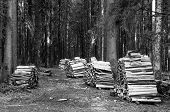 Firewood Stacked Inside The Forest In Black And White. Stacks Of Wood For Firewood Inside The Forest poster