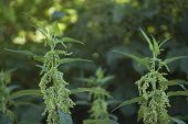 Urtica Dioica, Stinging Nettles With Green Inflorescence, Close-up Of Flowering Plants poster