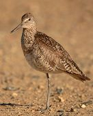 Willet On One Leg