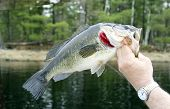 Largemouth Bass Closeup With A Lake And Trees In The Background poster