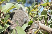 The Young Joey Koala Is Eating Gum Leaves poster