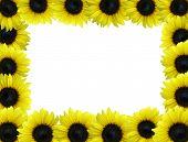 Sunflower Boarder