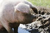 image of wallow  - Pig In Field Wallowing In Muddy Puddle - JPG