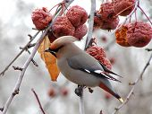Cedar Waxwing In Winter