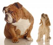 English Bulldog Ignoring Yapping Spaniel