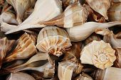 Lightning Whelk Shells (Busycon Perversum)
