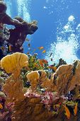 coral reef with great fire coral and exoyic fishes anthias in red sea