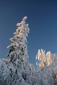The Old Fir & Oak Trees Covered With A Thick Layer Of Rime In Ojcowski National Park.
